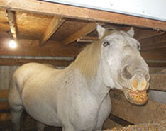 Carriage Limousine Service - Horse Drawn Carriages: One of our Percheron Draft horses named Suzy enjoying her food!