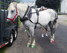 Carriage Limousine Service - Horse Drawn Carriages: Our Percheron Draft horse named Lucy getting ready before an event