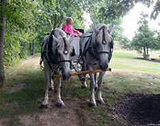 Carriage Limousine Service - Horse Drawn Carriages: Our Percheron Draft horse named Lucy (on the right), along with May