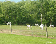 Carriage Limousine Service - Horse Drawn Carriages: Our Percheron Draft horses enjoying a nice summer day
