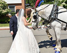 Carriage Limousine Service - Horse Drawn Carriages: One of our Percheron Draft horses named Lucy during a wedding in Sewickley, PA