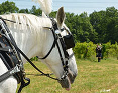 Carriage Limousine Service - Horse Drawn Carriages: Our Percheron Draft horse named Pearl