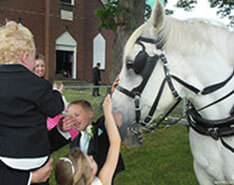 Carriage Limousine Service - Horse Drawn Carriages: Our Percheron Draft horse King after a wedding in PA