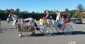 Carriage Limousine Service - Horse Drawn Carriages: Indian Baraat horse during the procession